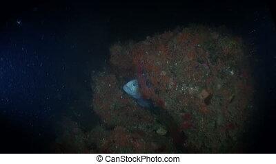 Lancet fish on seabed underwater in ocean of Alaska....
