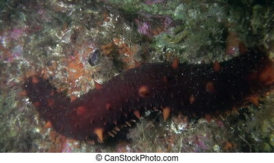 Sea cucumber trepang on background seabed underwater in...