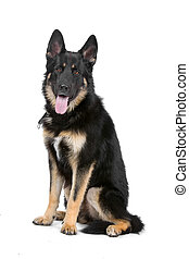 German shepherd - German shepherd isolated on a white...