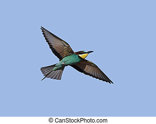 European bee-eater (Merops apiaster) - European bee-eater in...