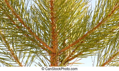 tip of pine close-up