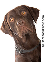 Labrador retriever dog isolated on a white background