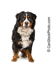 Bernese Mountain dog isolated on white