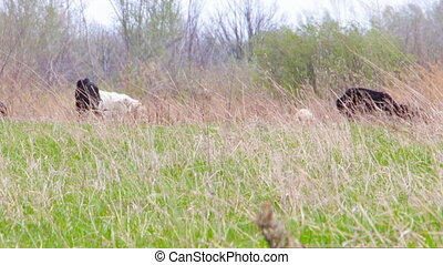 Goats grazing on meadow - Goats grazing in forest meadow