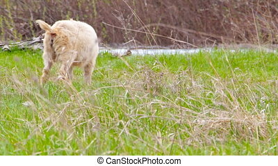 Goatling are grazing in a meadow - Young goatling are...
