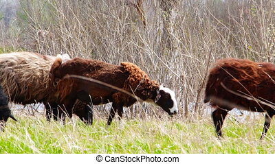 Goats grazing on meadow - Sheep grazing in forest meadow....