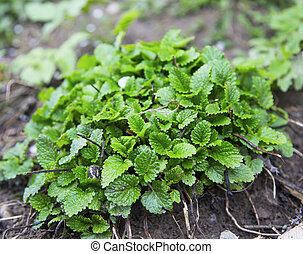 Lemon balm herb growing in the garden, Melissa officinalis