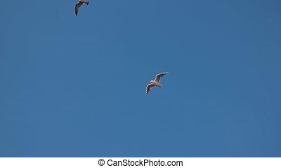 Two gulls in the sky. Birds flying in slow-mo.