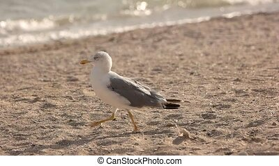 Seagull walking in slow motion. Gull on the seashore. Basics...