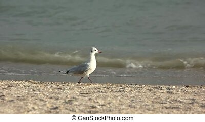 Bird walking on the seashore. Side view of seagull.
