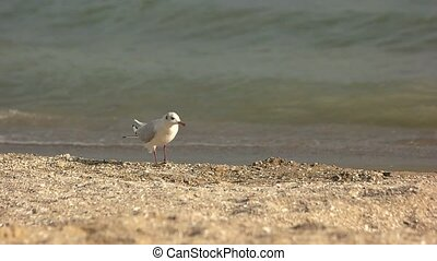 Seagull walking, slow motion. Bird on waves background....