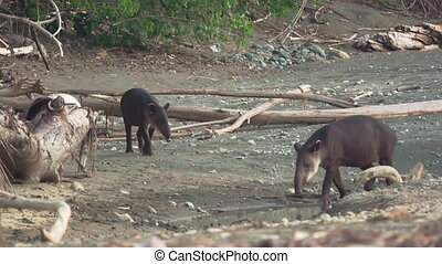 Tapir baby and mom at the beach of Corcovado - Front view of...