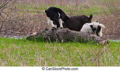 Goatling are playing on a meadow - Young goatling are...