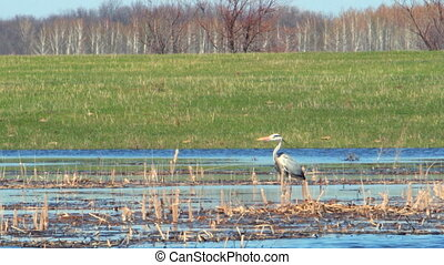 Heron in the wild. Heron in the wild. The heron stands in...