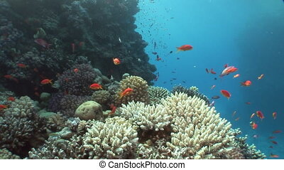 School of fish on background in clean clear water in Red sea.