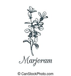 Vector marjoram illustration isolated.Hand sketched...