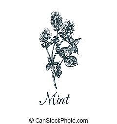 Vector mint illustration. Hand drawn aromatic plant sketch. Culinary herb image. Botanical drawing in engraving style.