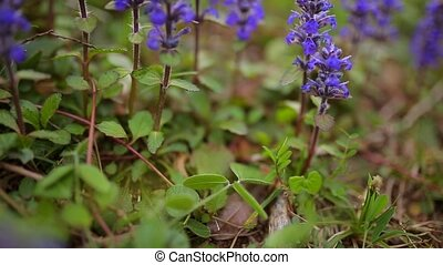 Violet flowers of Lysimachia in green grass. Flora of Montenegro