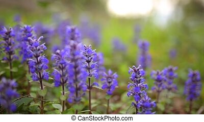 Violet flowers of Lysimachia in green grass. Flora of...