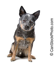 Cattle Dog    - Cattle Dog isolated on a white background