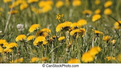 spring flowers dandelions in meadow