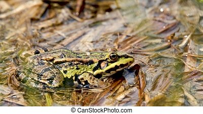 Beautiful marsh frog on pond, European wildlife - Beautiful...