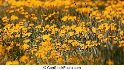 spring flowers dandelions in meadow - Field of spring...