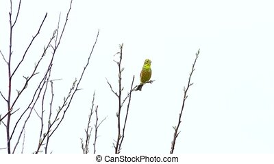 Yellowhammer (Emberiza citrinella) isolated on a white...