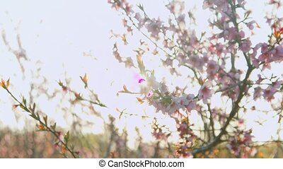 Close-up of the branches of the blossoming peach in the...