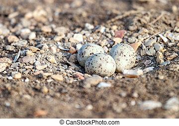 Black-Winged Stilt - Three Eggs of Black-winged Stilt on the...