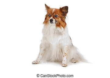 papillon isolated on a white background