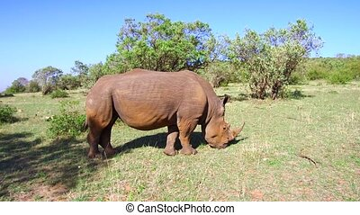 rhino grazing in savanna at africa - animal, nature, fauna...