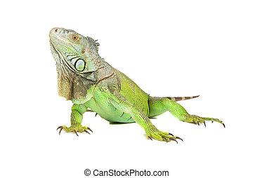 Green iguana - Green iguana(Iguana iguana) isolated on white...