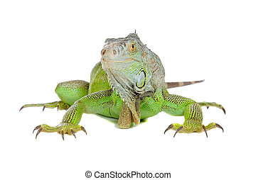 Green iguanaIguana iguana isolated on white