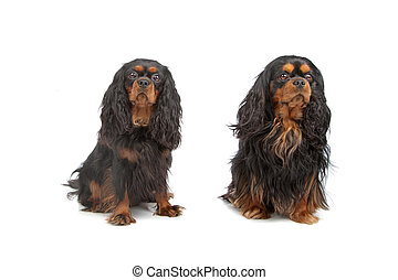 cavalier king charles spaniel isolated on a white background