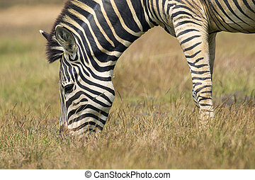 Image of an zebra eating grass on nature background. Wild...
