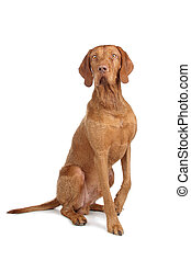 Vizsla isolated on a white background