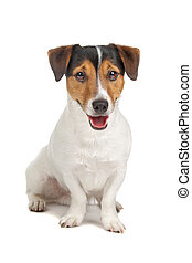 jack russel terrier - jack russel terrier isolated on a...