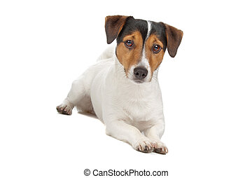 jack russel terrier isolated on a white background