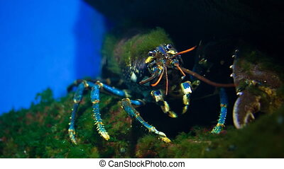 A lobster underwater - a lobster underwater at oceanarium