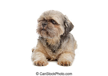 Lhasa Apso isolated on a white background