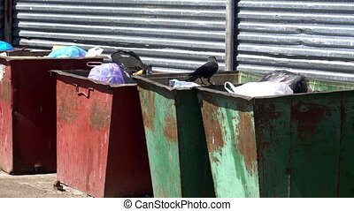 hungry crow looking for food in garbage cans.