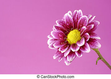 Pink Flower with colored background yellow center