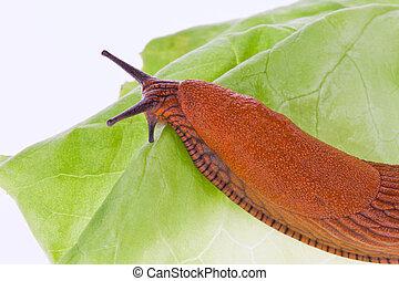 slug on lettuce leaf - a slug crawls slowly on a lettuce...