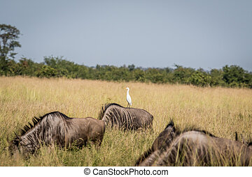 Cattle egret standing on a Blue wildebeest. - Cattle egret...