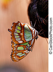 Red lacewing butterfly (lat. Cethosia biblis) resting on...