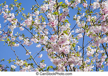 It is Sakura in blossom.