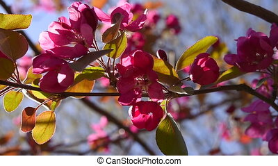 Pink wild apple blossoms swinging in the wind with sunlight...