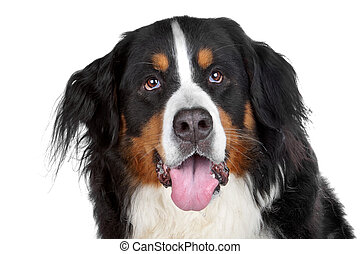 bernese mountain dog isolated on a white background
