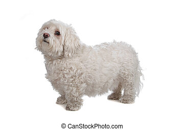 maltese isolated on a white background